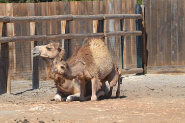 Kid Dromedary standing up and its mom 1