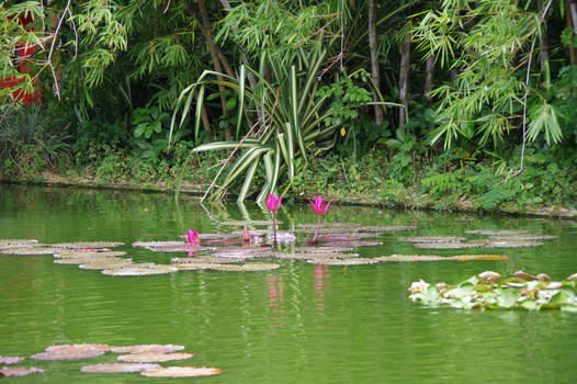Pond with waterlilies to Guadeloupe 2