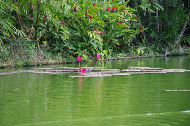 Pond with waterlilies to Guadeloupe 3