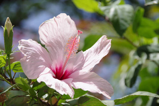 White flower and button of hibiscus