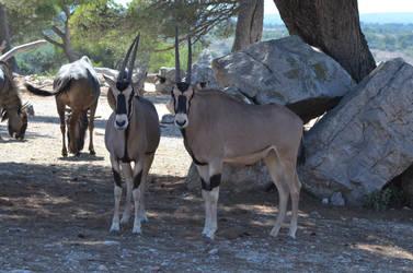 Gemsbok or gemsbuck or South African oryx