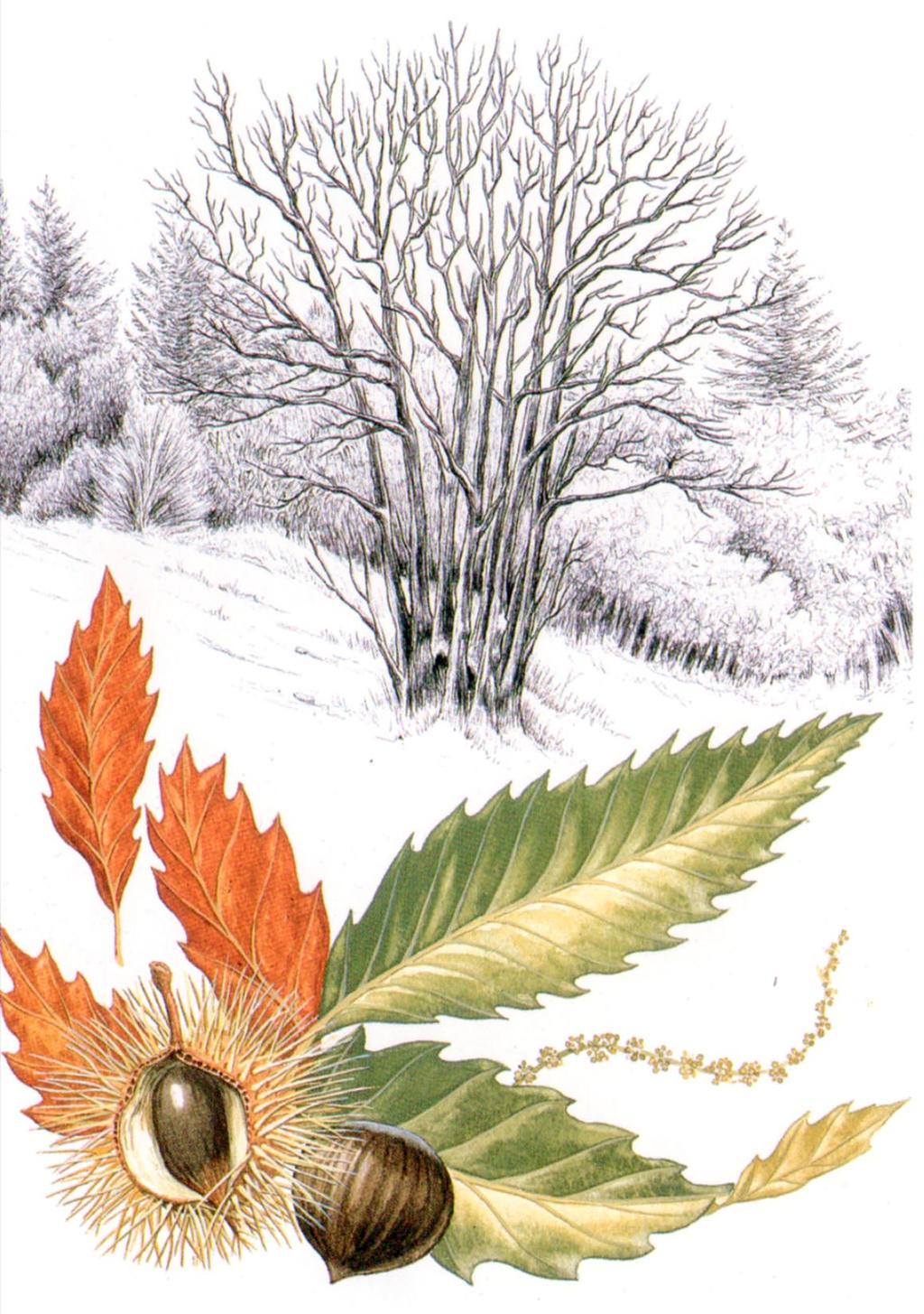 Chesnut tree on winter by AmadeuBlasco
