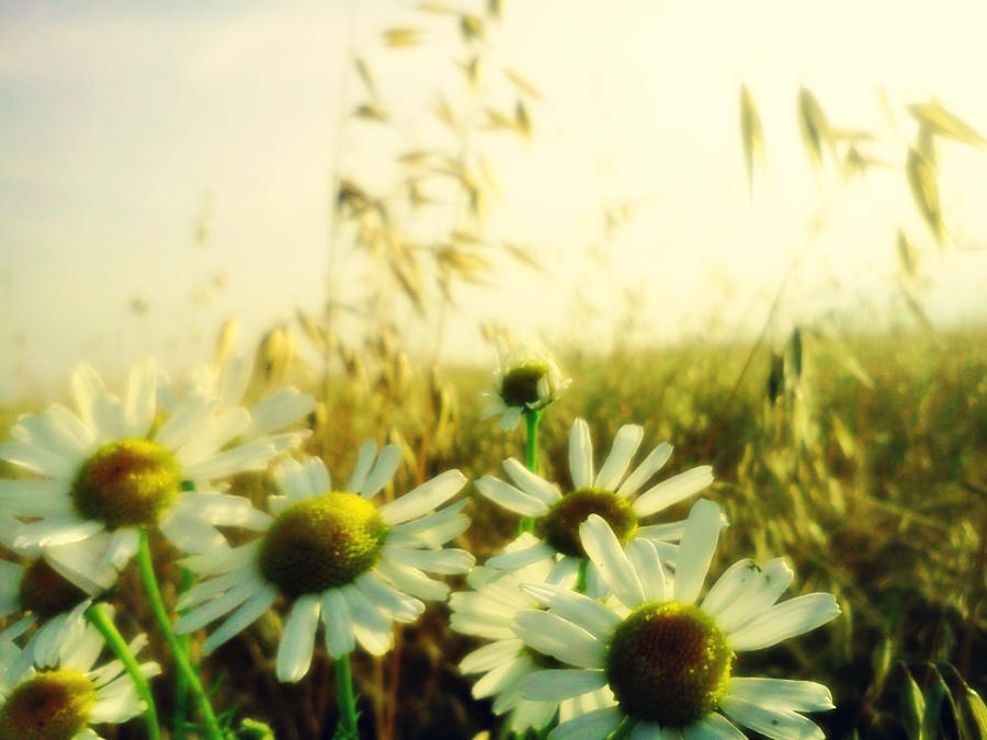 Daisies In A Field by LoversHorizon