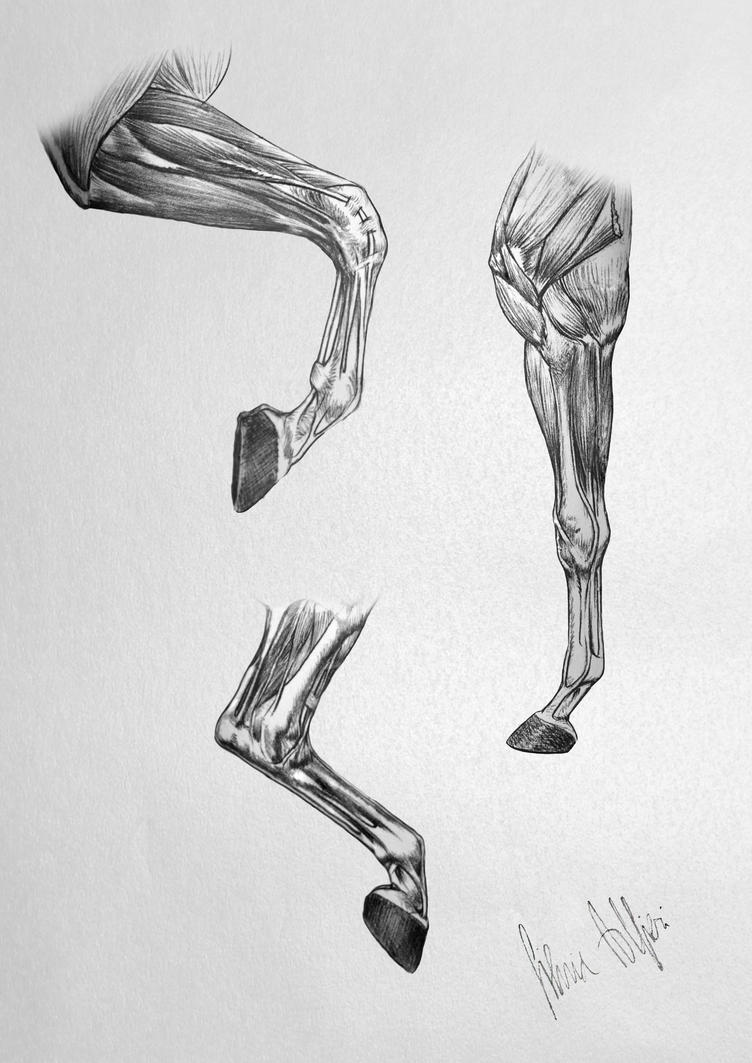 Horse\'s Anatomy - Legs Muscles by SilviasDesires on DeviantArt