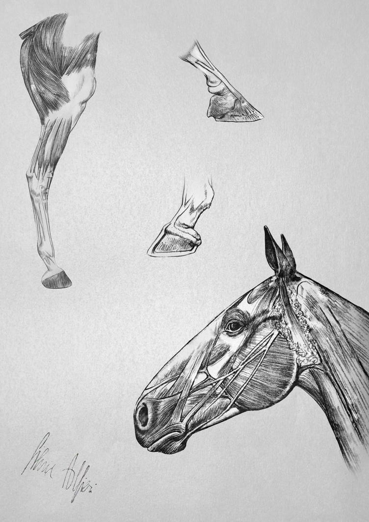Horse\'s Anatomy - Leg Hooves head by SilviasDesires on DeviantArt