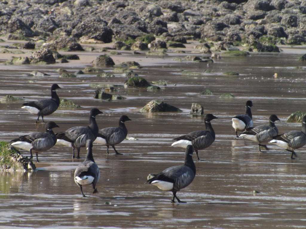 Brent geese by nonyeB