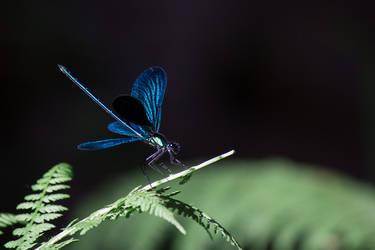 Blue Odonata by DenRz