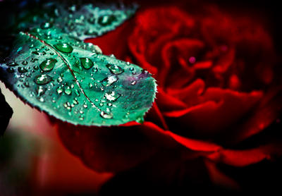 :Roses and Tears: by StrippedSoul