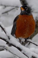 Winter Robin by karebear623