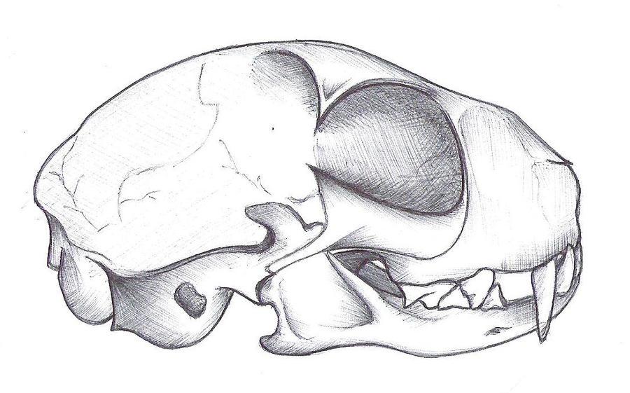 skullanatomy cat skull by jes-star on DeviantArt