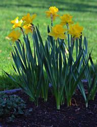 Spring Daffodils by abekowalski