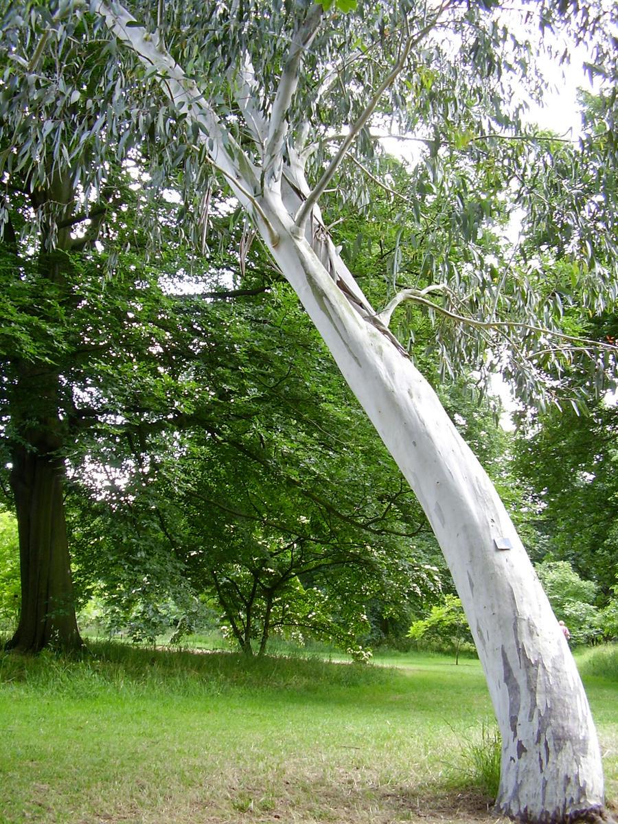 Leaning Eucalyptus by blackbirdrose