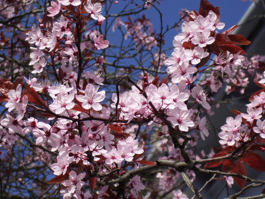 Spring Blossoms by blackbirdrose