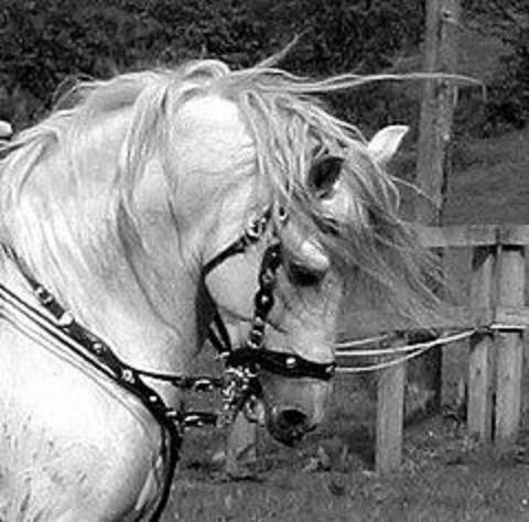 Andalusian Stallion19 - Stock by Bolero-L