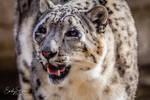 Snow Leopard by TinyMosasaur