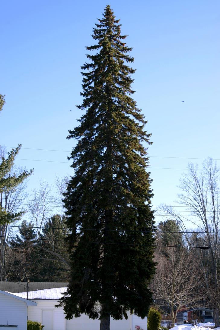 Towering tree by iamwhoiam12