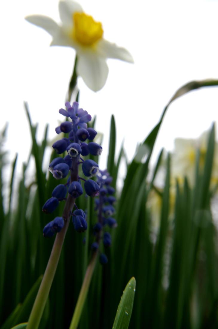 Grape hyacinth and daffodil tower by iamwhoiam12