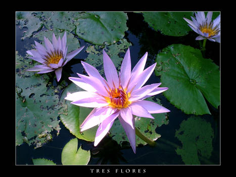 Tres Flores
