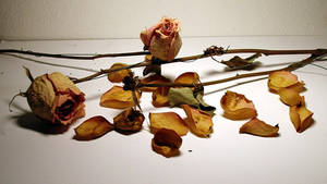 Dried Roses 1