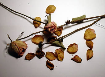 Dried Roses 2 by Mictecacihuatl-Stock