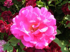 Sun Kiss Rose