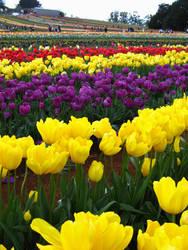 Tulips Farm by sweetnov86