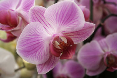 Pink Orchid Stock by Sassy-Stock