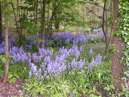 Blue Bell Woods - Stock by Sassy-Stock