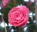 Pink Camillia Flower - Stock