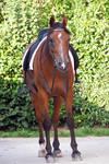 Saddled horse - Stock