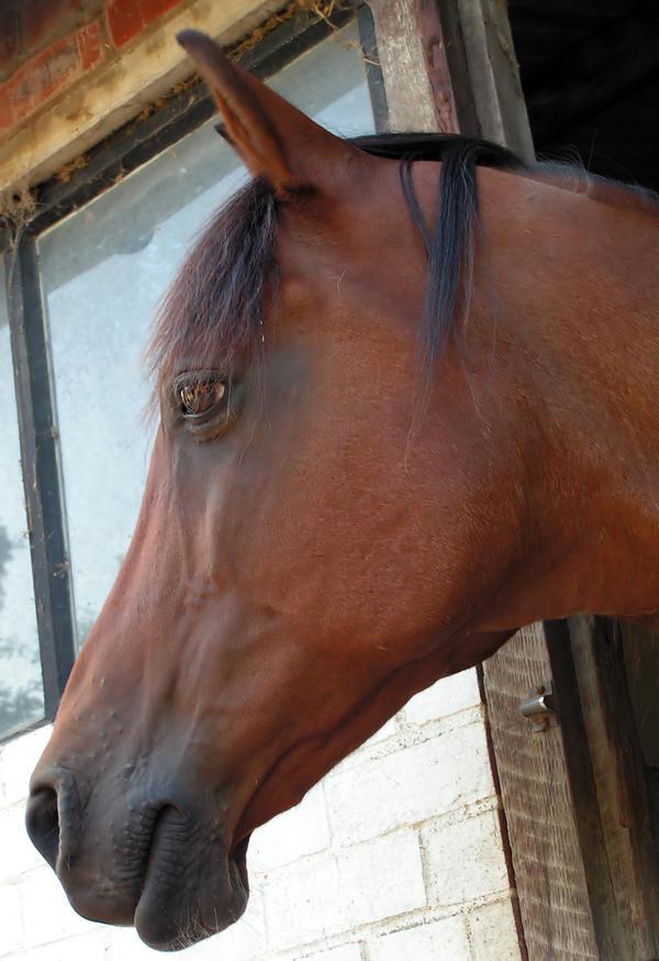 Horse head - Stock by Sassy-Stock