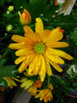 Yellow Daisy rain drops -Stock
