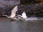 Chasing Swans Stock