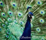 .:Indian Male Peafowl I:.