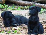 Prafuiti ( dusty puppies )