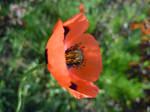 poppy flower by VasiDragos