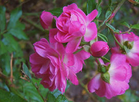 My sweet rose by VasiDragos