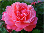 A rose for Mihaela