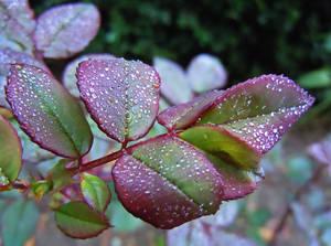 Dew drops ... by VasiDragos