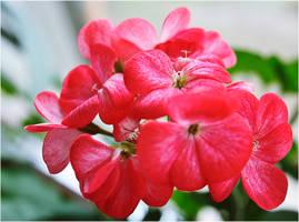 Simple geranium by VDragosPhotography