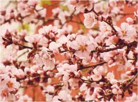 Peach blossom by VDragosPhotography