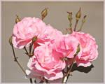 Roses for Lucila
