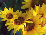 For the love of sunflowers by VasiDragos