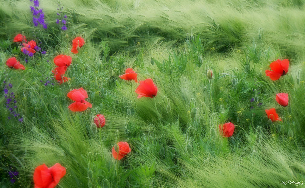 Breeze on a poppy field by VasiDgallery