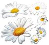 Daisy2 by VasiDragos