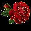 rose by VasiDragos