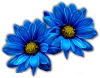 blue daisies by VDragosPhotography