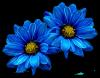 blue daisies by VasiDragos
