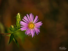 Aster by VDragosPhotography