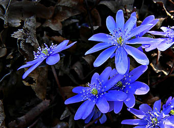 Anemone by VDragosPhotography